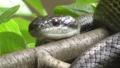 Japanese rat snake (Elaphe climacophora).png
