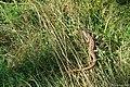 Jaszczurka zwinka, fot I Nowicka.jpg