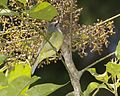 Javan Grey-throated White-eye (Lophozosterops javanicus) - Flickr - Lip Kee (1).jpg