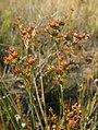 Juncus canadensis inflorescence (02).jpg