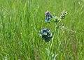 June 2015 Grassland Plants in Northwestern SD (19934734000).jpg