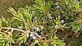 Juniperus communis, Xinebru alpín.jpg