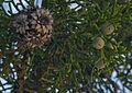 Juniperus osteosperma Ringtail Canyon, Utah.jpg