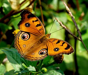 image of Junonia almana by kadavoor