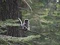 Juvenile Great Gray Owl (19726480486).jpg