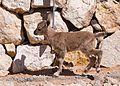 Juvenile Nubian ibex (40348).jpg
