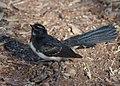 Juvenile Rhipidura leucophrys - Ingle Farm - 4.jpg