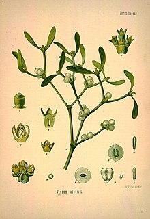 шаровидное растение паразит