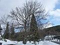 Karlova studánka, dub lesní (1).JPG