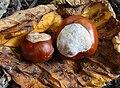 Kastanien (Aesculus seeds).jpg
