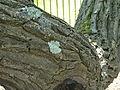 Kew Gardens Pagoda Tree P1170593.JPG