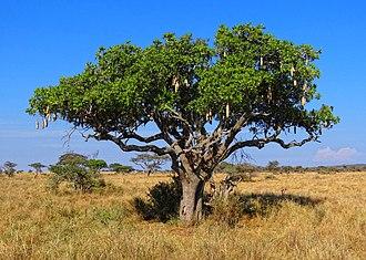 Kigelia - K. africana habit, in Serengeti National Park