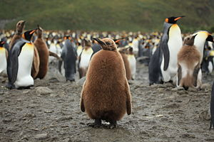 King Penguin Chick at Salisbury Plain (5719980176).jpg