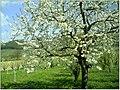 Kirschblüte - panoramio (20).jpg