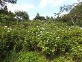 Kobe Municipal Arboretum in 2013-6-22 No,14.JPG