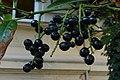 Korina 2014-08-19 Prunus laurocerasus 1.jpg