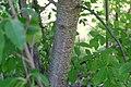 Korina 2015-06-30 Prunus serotina 5.jpg