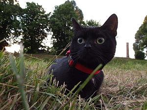 http://upload.wikimedia.org/wikipedia/commons/thumb/1/11/Koteczekdzika.JPG/300px-Koteczekdzika.JPG