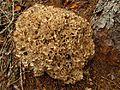 Krause Glucke (Sparassis crispa) - hms(2).jpg