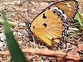 Kupu-kupu raja.jpg