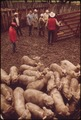 LOADING SHEEP FOR RETURN TO PASTURE OR SLAUGHTER FROM A RANCH NEAR LEAKEY, TEXAS, AND SAN ANTONIO - NARA - 554886.tif