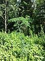 Lactuca quercina sl46.jpg