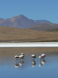 Laguna Cañapa con flamencos Potosí Bolivia.jpg