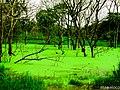 Laguna de oxidacion, de desechos de corral de ganado, a oriilas de la carretera Siuna, El Guineo. - panoramio.jpg