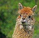 Lama LLama Alpaca 06.jpg