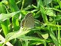 Lampides boeticus - Pea Blue at Aralam Wildlife sanctuary during Aralam butterfly survey 2020 (14).jpg