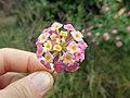 Lantana camara flowerhead NC7.jpg