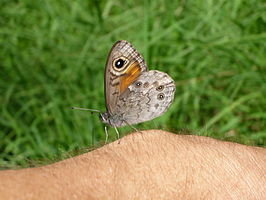 Large Wall Brown Braunauge.jpg