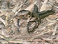Large tailed Nightjar I IMG 8461.jpg