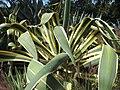 Large variegated Agave, Los Angeles.jpg