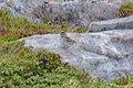 Lark Sparrow (Chondestes grammacus) - Bonavista, Newfoundland.jpg