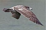 Larus pacificus - juvenile in flight 2.jpg