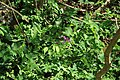Lathyrus vernus in natural monument Kalamandra in spring 2012.JPG
