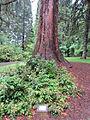 Laurelhurst Park, Portland - Giant Sequoia trunk 2012.JPG