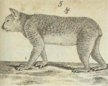 dessin de Cuvier de 1817 tentant de représenter un koala. La posture est celle d'un lynx