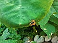 Leaf beetle mating on leaf (3).jpg