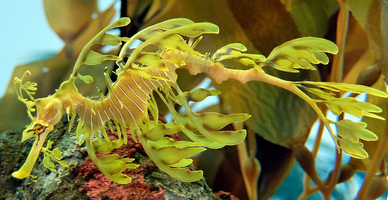 File:Leafy Seadragon Phycodurus eques 2500px PLW edit.jpg