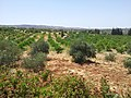 Lemon and Olive farm next to my house - panoramio.jpg