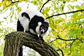 Lemur (24168847278).jpg