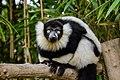 Lemur (25990508377).jpg