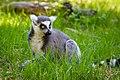 Lemur (40738880825).jpg
