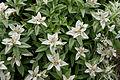 Leontopodium japonicum 06.jpg