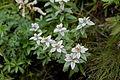 Leontopodium japonicum 07.jpg