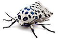 LeopardMothBlueSpots edit1.jpg