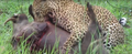 Leopard Killing Warthog Graphic Latest Wildlife Sightings Hd 3.png