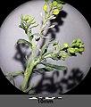 Lepidium ruderale sl14.jpg